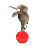 Fototapety Elephant balancing on a big ball