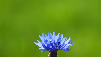 Cornflower on the green background with slider