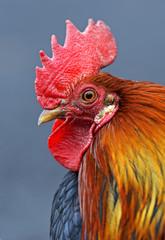 Portrait pet rooster on the farm