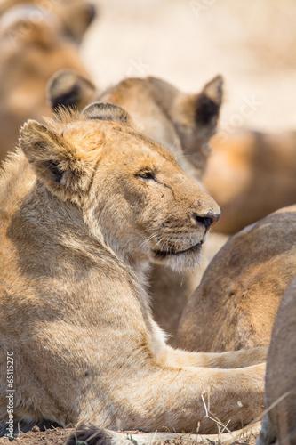 Tuinposter Leeuw Lion pride rests in Serengeti