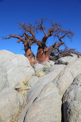 Baobab Tree Between the Rocks