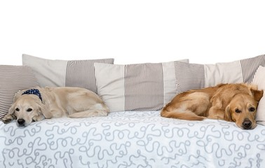 Two dogs lying in bed on white background