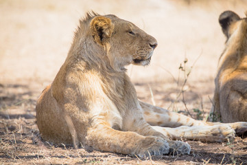 Young lion male rests in Serengeti