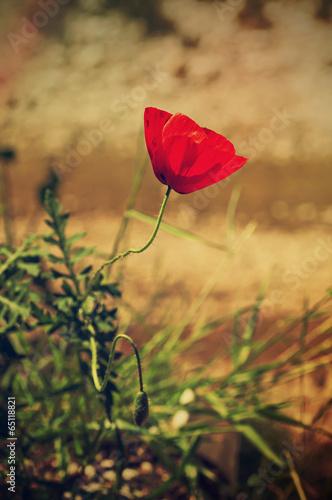 Poppy flower © Roxana