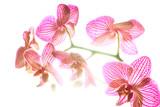 Fiore d'orchidea in controluce