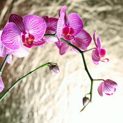 Phalaenopsis #2