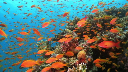 Tropical Fish on Vibrant Coral Reef, Red sea