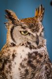 Avian, eagle owl in a sample of birds of prey, medieval fair poster