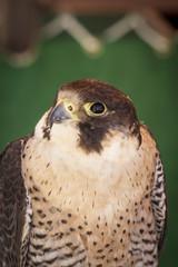 falcon on a sample of birds of prey, medieval fair