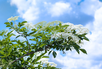 Elderberry flowers on the bush, set against a sky