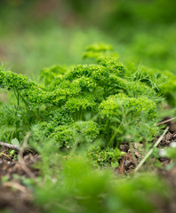 fresh parsley close-up.