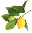 Lemons on a branch