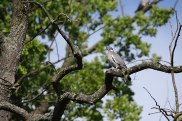 Pigeon ramier ou palombe (Columba palumbus)