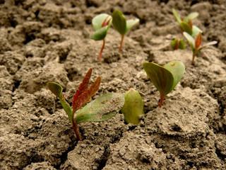 tatarian maple seedlings