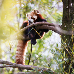 "Red panda (Ailurus fulgens, lit. ""shining cat"")"