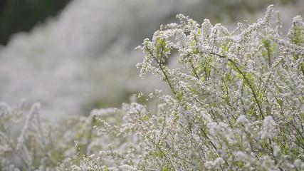 Flowers of Spiraea,in Showa Kinen Park,Tokyo,Japan