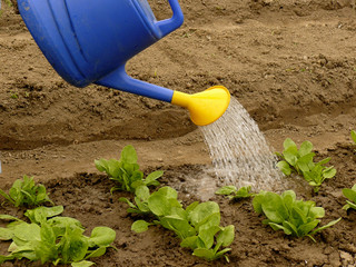 watering of vegetable bed with rows of spinach