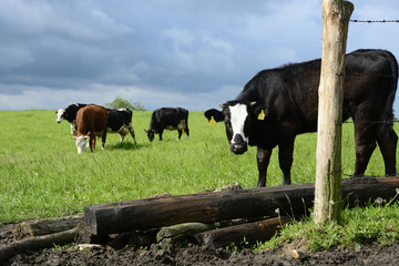 Black bull and cows on a green field