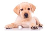 Fototapety adorable seated labrador retriever puppy dog