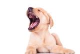 excited labrador retriever puppy dog screaming of joy - 65128694
