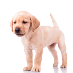 adorable barking little labrador retriever puppy dog