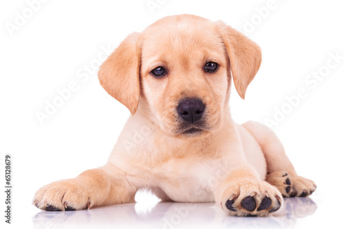 In de dag Hond adorable seated labrador retriever puppy dog