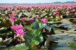 Large Group of Lotus Flowers