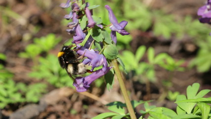 bumblebee on flower in spring forest