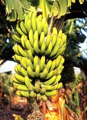 Bananas growing on plant, Tenerife © Arena Photo UK