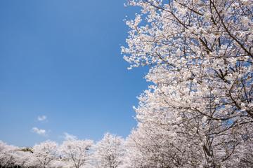 満開のソメイヨシノ並木と青空