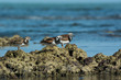3 Ruddy Turnstone (Arenaria interpres) showing winter and summer