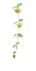 Cowslip Creeper -Telosma minor Craib