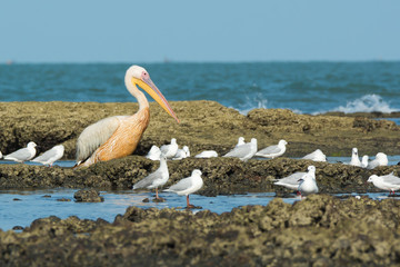 A Great White Pelican (Pelecanus onocrotalus) standing amongst s