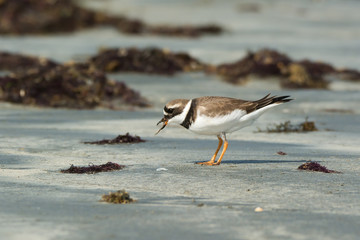 A Ringed Plover (Charadrius hiaticula) eating a worm pulled up f