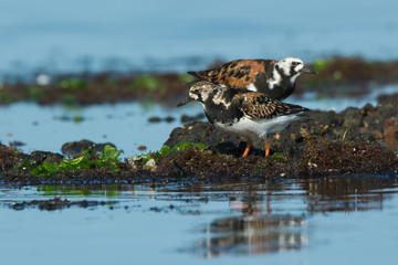 A Ruddy Turnstone (Arenaria interpres) standing on floating seaw