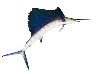 sailfish flying midair isolated white background use for marine