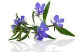 Fototapety A sprig of blue lobelia on a white background.