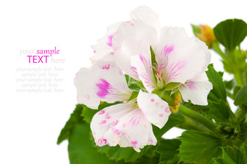 Pelargonium - commonly known as geraniums.  the family Geraniace