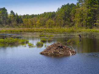 Beaver den on tranquil pond