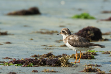 Ringed Plover (Charadrius hiaticula) looking out over the seawee