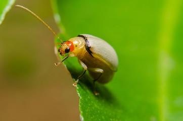 juvenile bombardier beetle