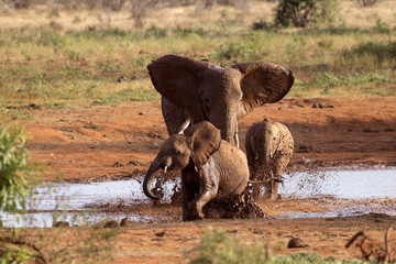 Family of elephants playing in the red mud