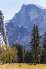 Half Dome and deer, Yosemite National Park