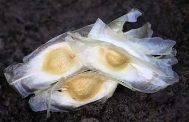 Seeds of moringa oleifera