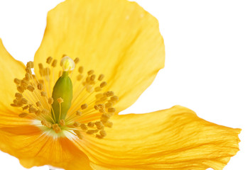 Yellow or Welsh Poppy 'Meconopsis cambrica' on white