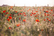 Obrazy na płótnie, fototapety, zdjęcia, fotoobrazy drukowane : Fleur de printemps et coquelicots