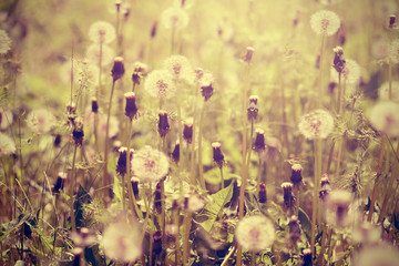 Dandelions on meadow retro photo