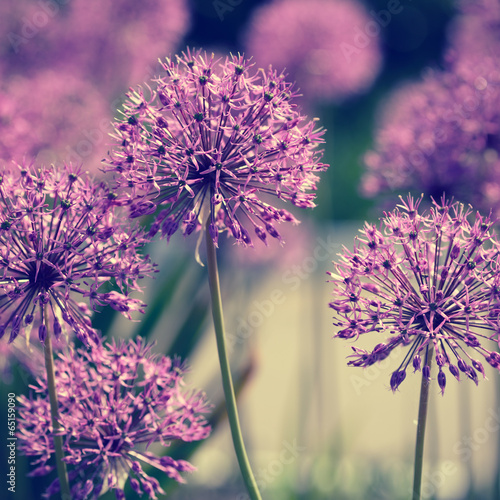 Allium flowers retro look