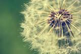 Dandelion macro retro photo - 65159292
