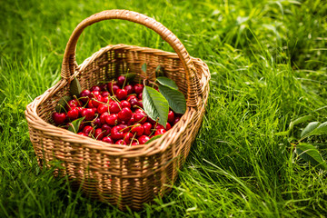 Freshly picked cherries in a basket in the garden